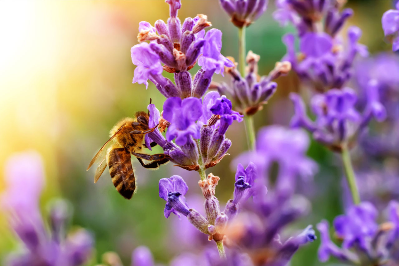 bee pollinating lavender flowers